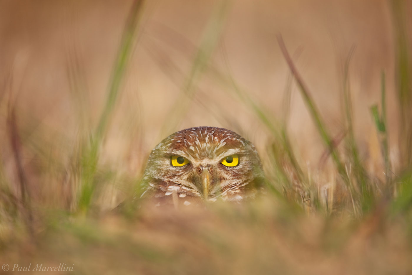 A Burrowing Owl (Athene cunicularia) give a sinister stare from its burrow.