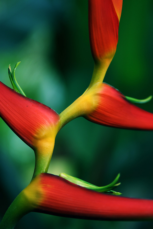 heliconia, flower, photo