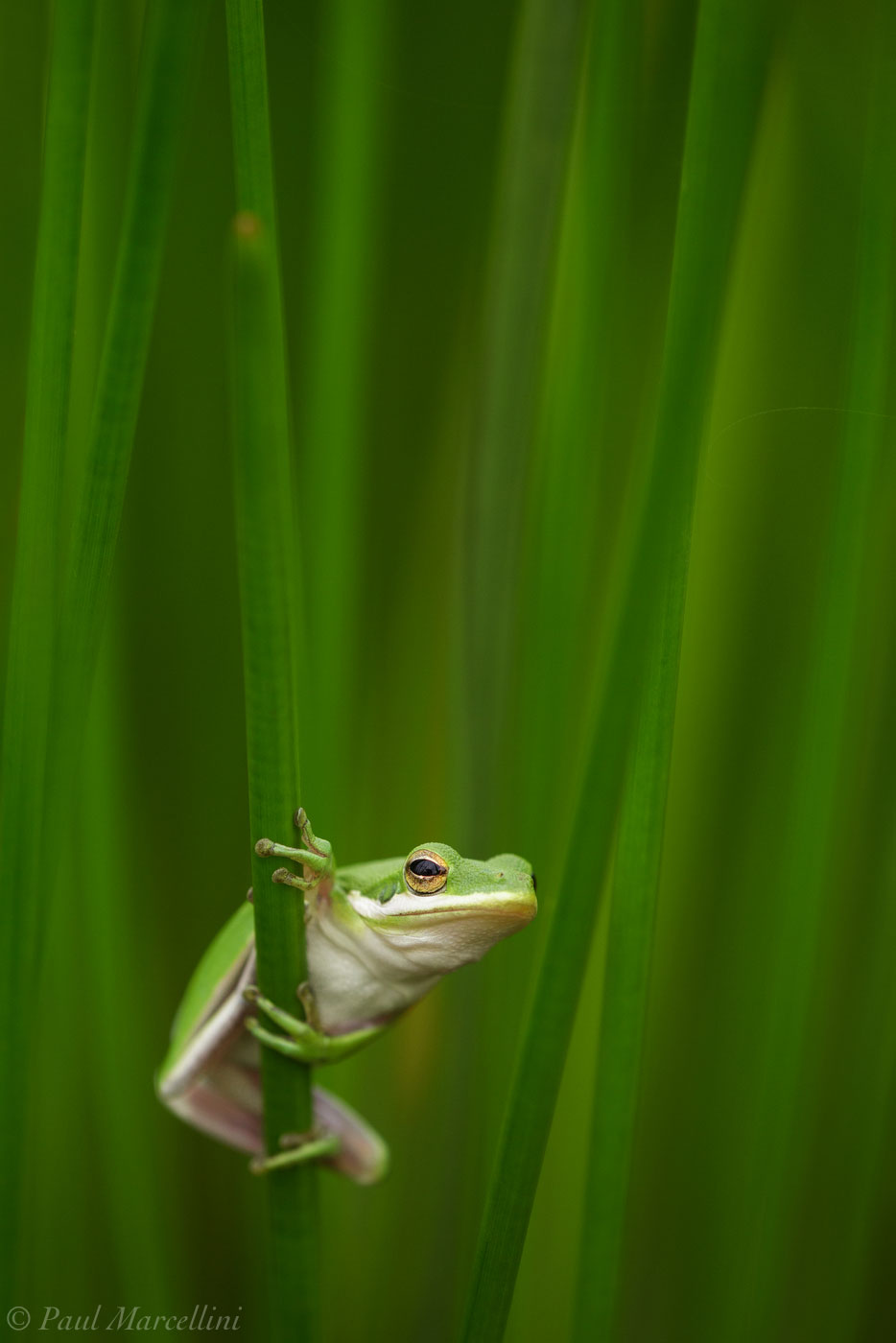 Green Tree Frog, Everglades National Park, Florida, photo