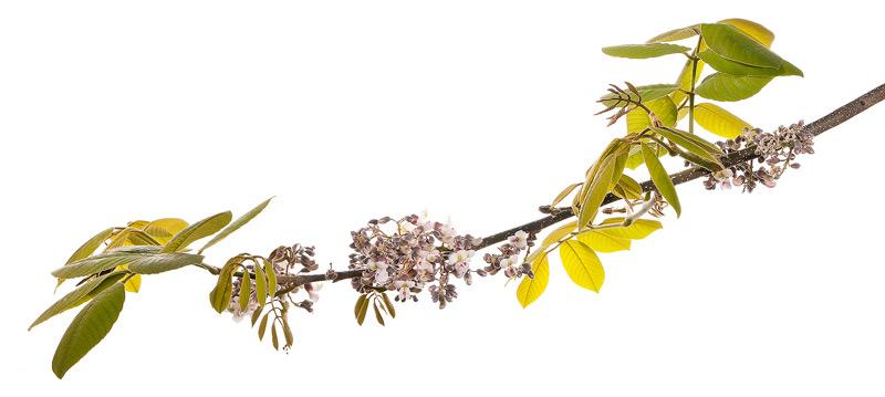 Jamaican Dogwood or Fish Poison Tree (Piscidia piscipula)