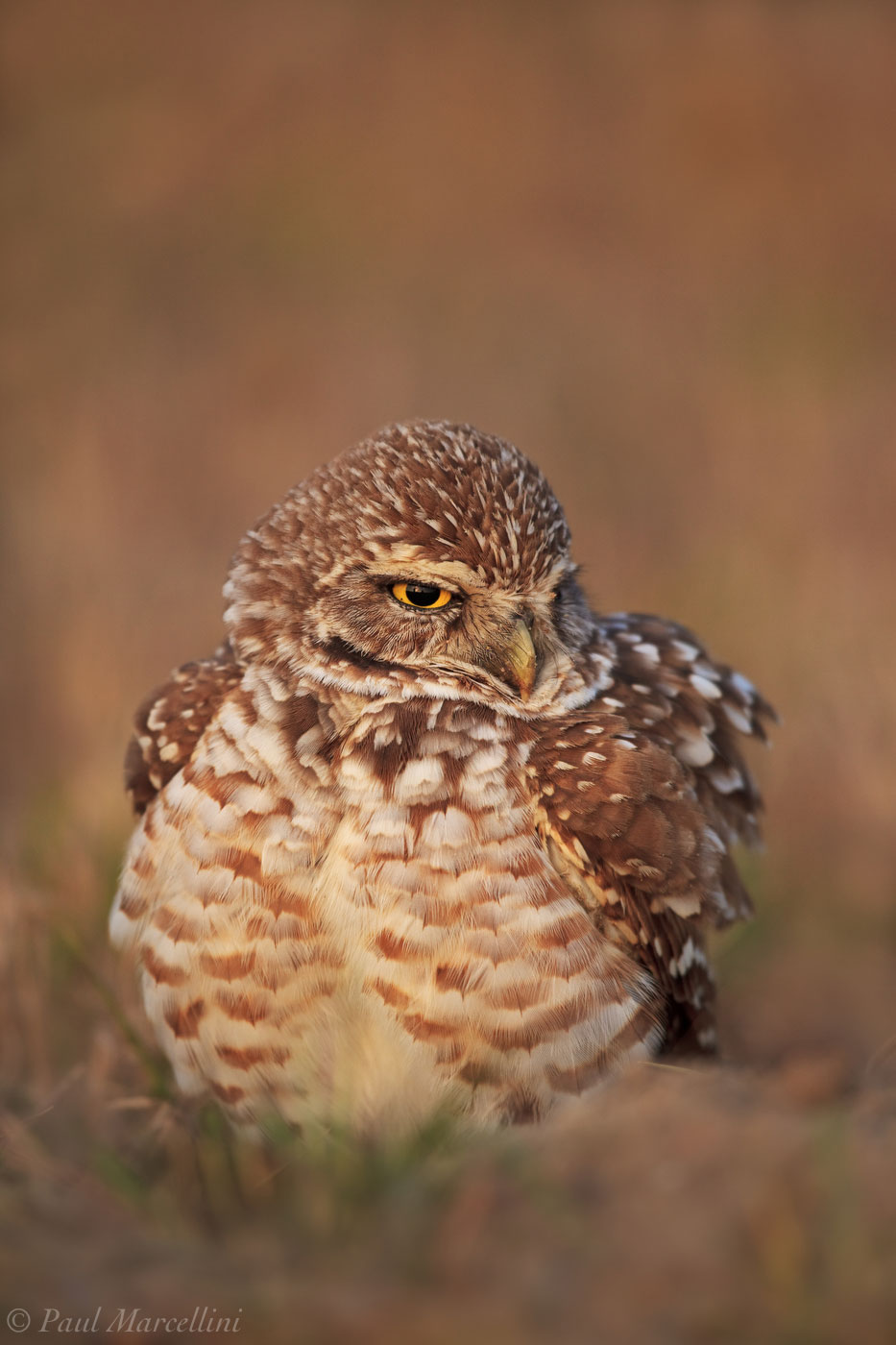 Burrowing Owl, Athene cunicularia, photo