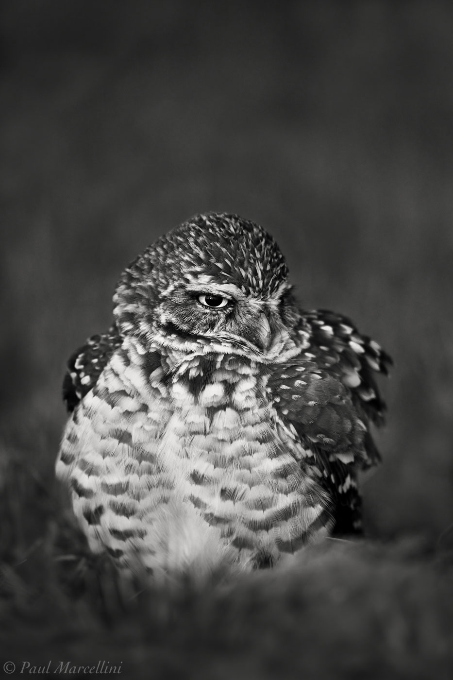 Athene cunicularia, burrowing owl, cape coral, photo