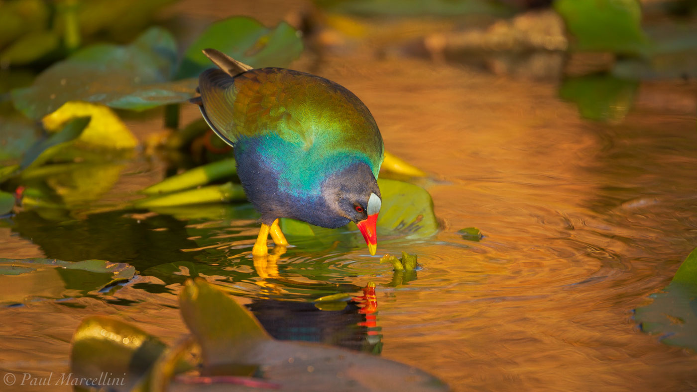 purple gallinule, everglades national park, florida, photo