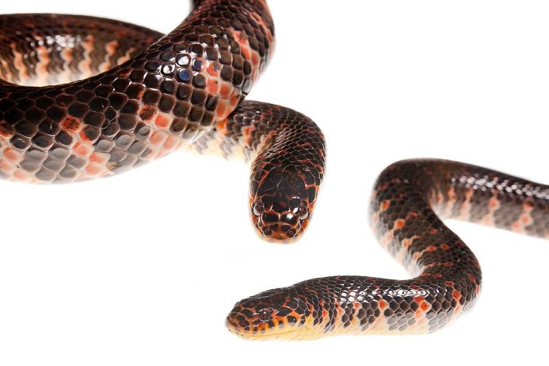 Eastern Mud Snake, Farancia abacura abacura, photo
