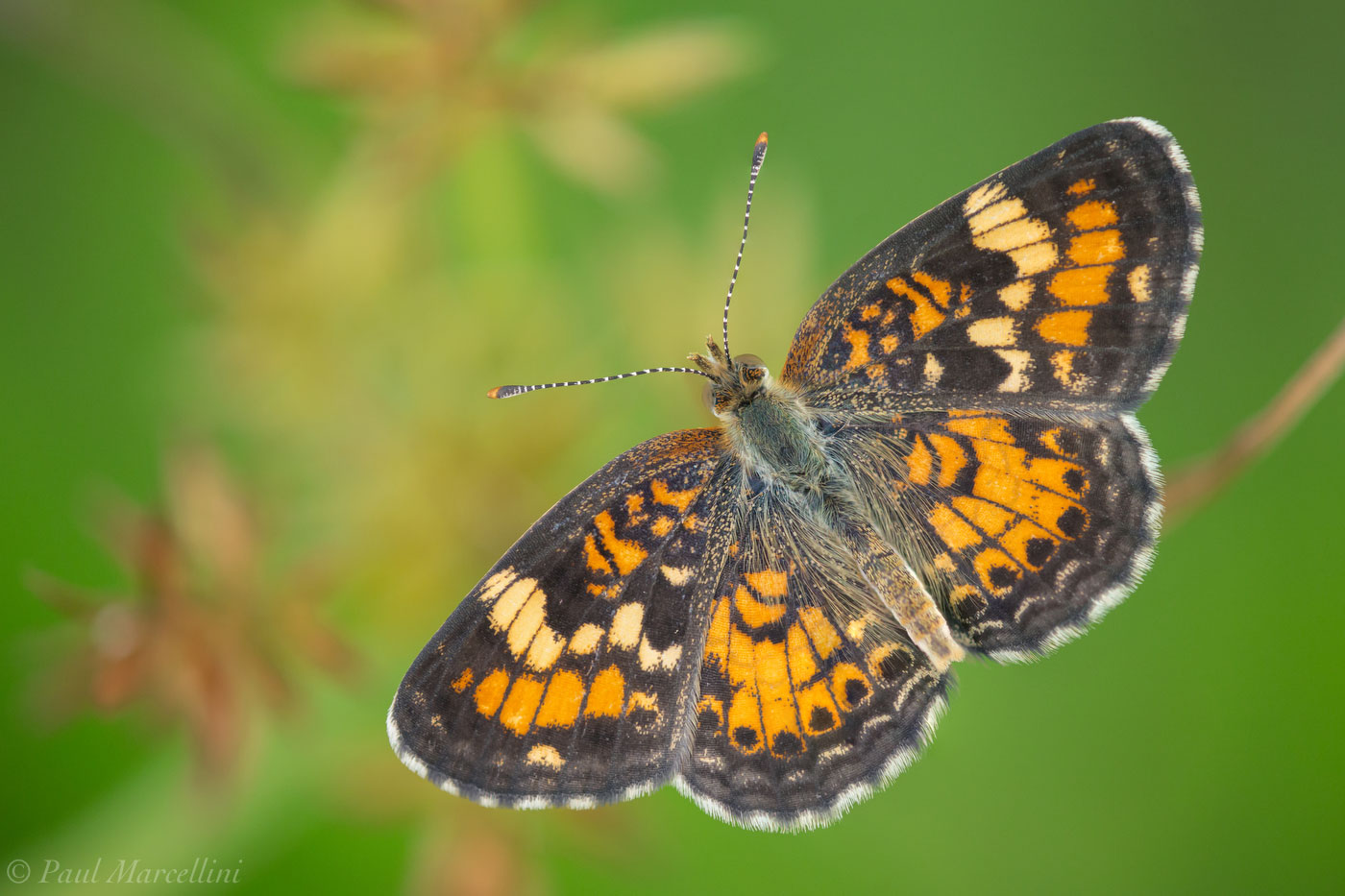 A Phaon Crescent Butterfly (Phyciodes phaon) in Everglades National Park.