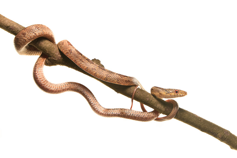 Chicken Snake, Yellow Rat Snake, Pantherophis alleghaniensis, Elaphe obsoleta quadrivittata), photo