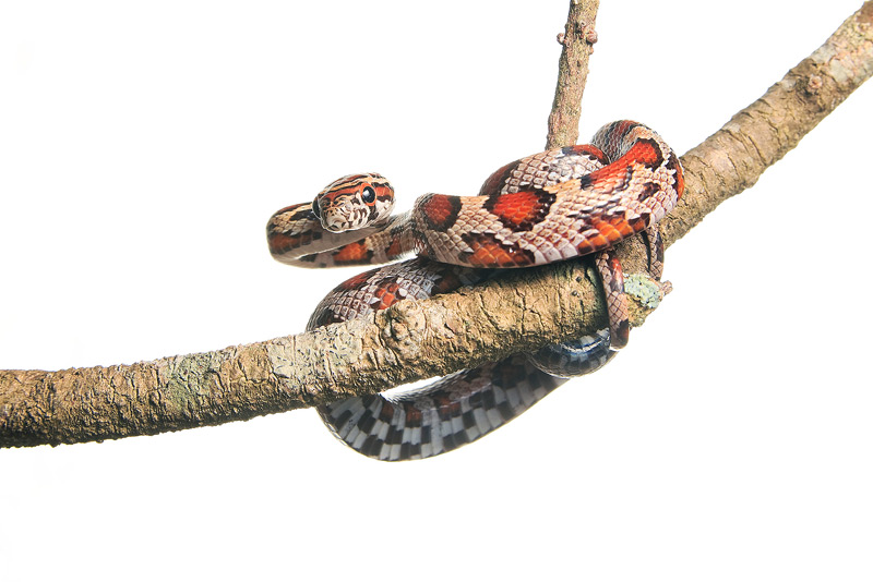 Red Rat Snake, Corn Snake, Pantherophis guttatus guttatus, photo
