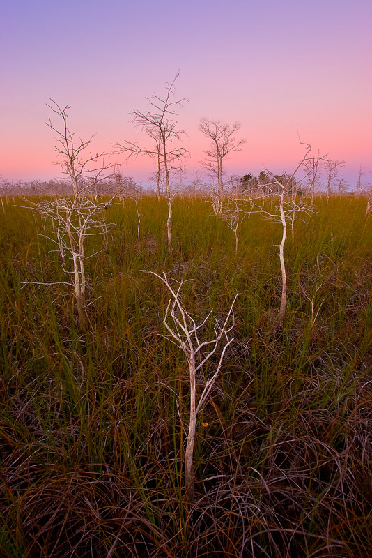 dwarf bald cypress, taxodium distichum, everglades, Florida, nature, photography, photo