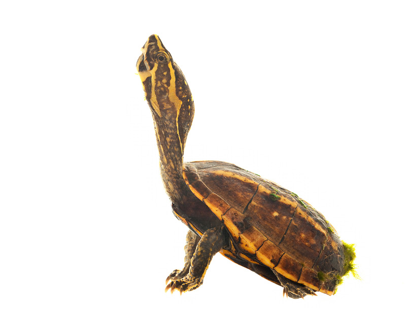 Three Striped Mud Turtle, Kinosternon baurii, photo