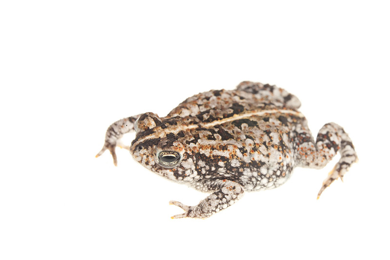 Oak Toad, Anaxyrus quercicus, photo