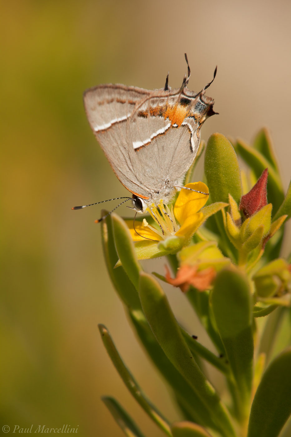 Strymon martialis, Martial Scrub Hairstreak, Suriana maritima, bay cedar, Key Deer National Wildlife Refuge, Big Pine Ke, photo