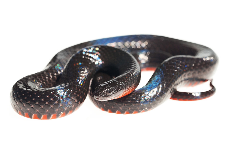 Southern Swamp Snake, Seminatrix pygaea cyclas, photo
