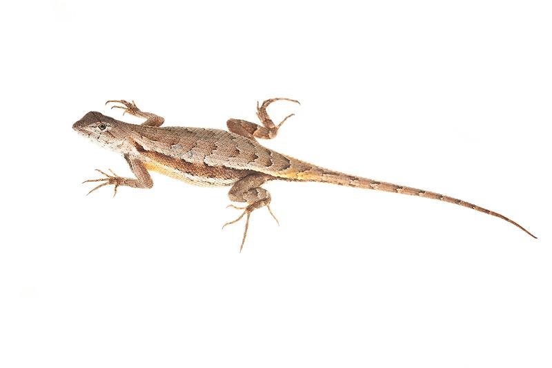 Florida Scrub Lizard, Sceloporus woodi, photo