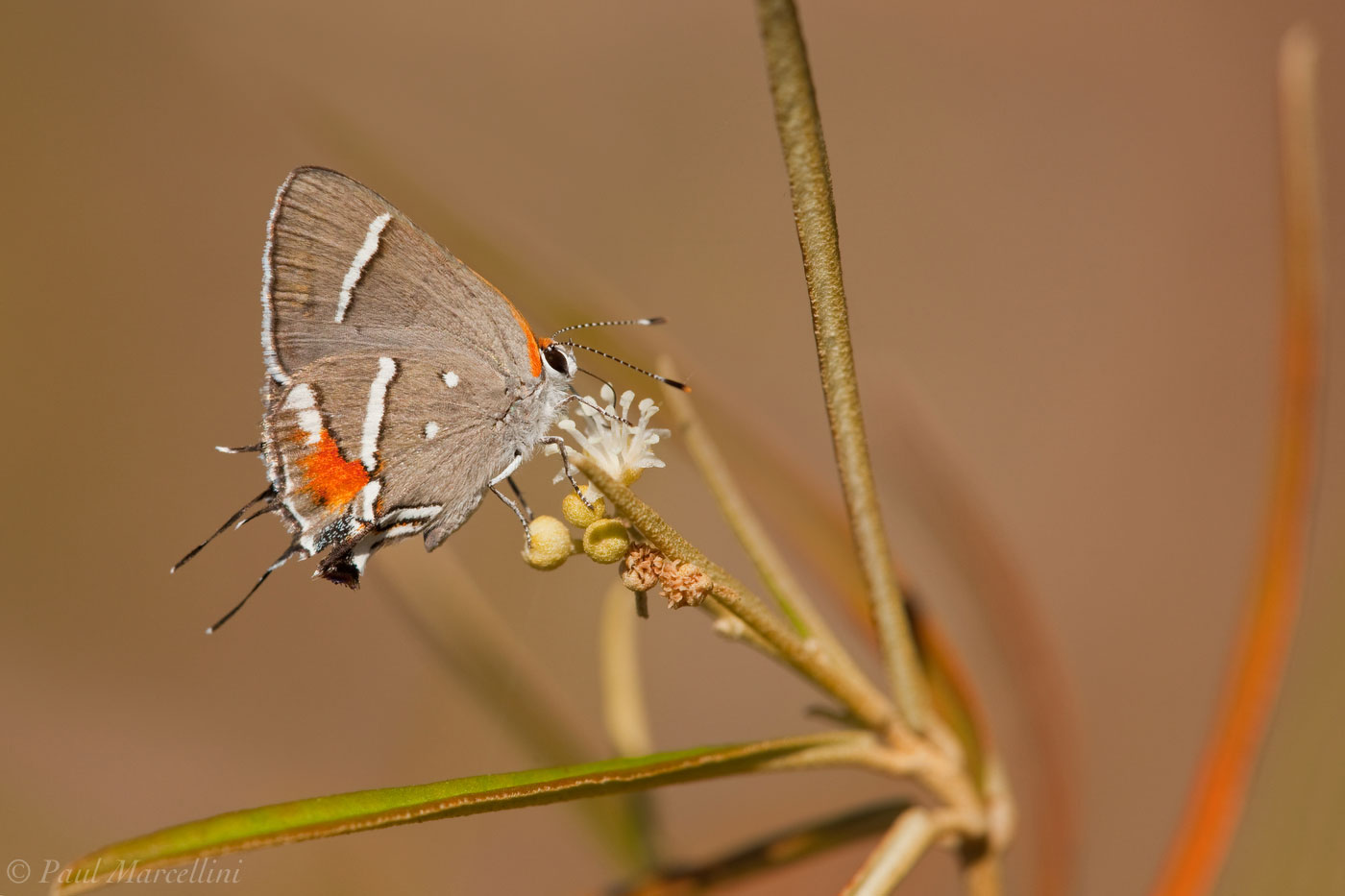 Bartram's Hairstreak, Butterfly, Strymon acis bartrami, pineland croton, croton linearis, Key Deer National Wildlife Ref, photo