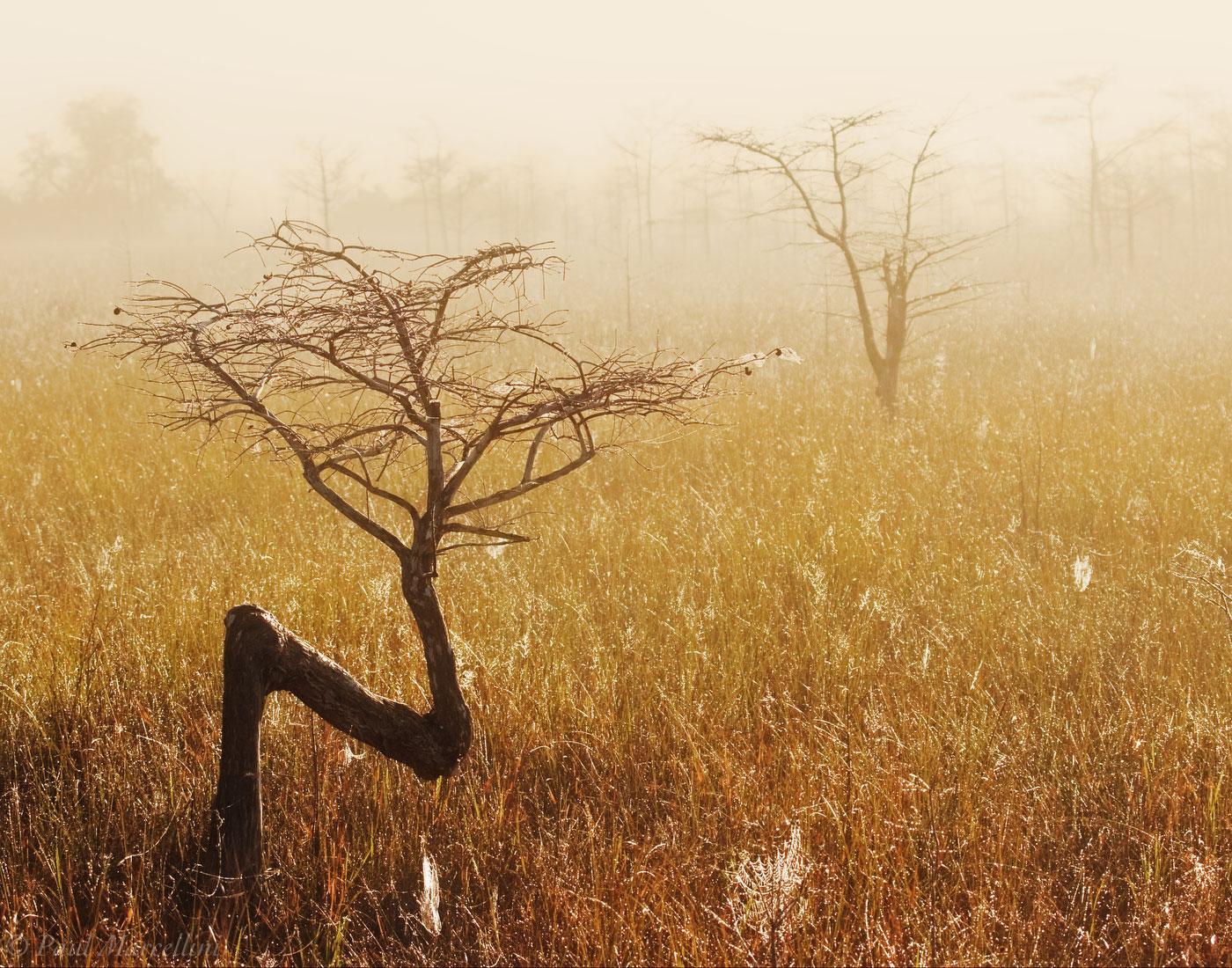 dwarf cypress, everglades, foggy, Florida, nature, photography, florida national parks, photo