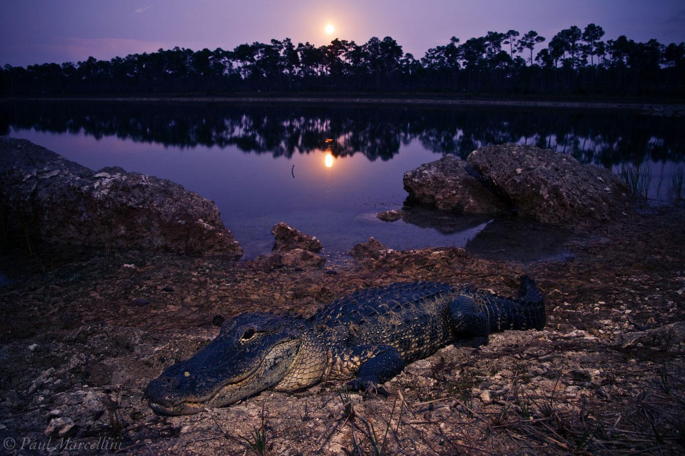 American Alligator, Alligator mississippiensis, moon, everglades, photo