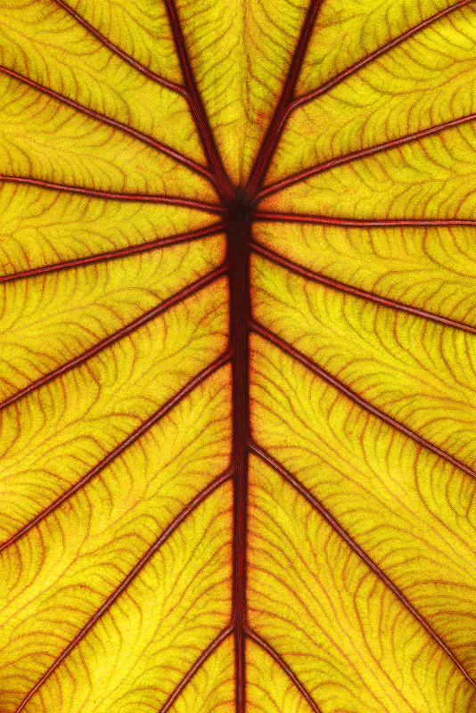 veins, vascular, colocasia, leaf, photo