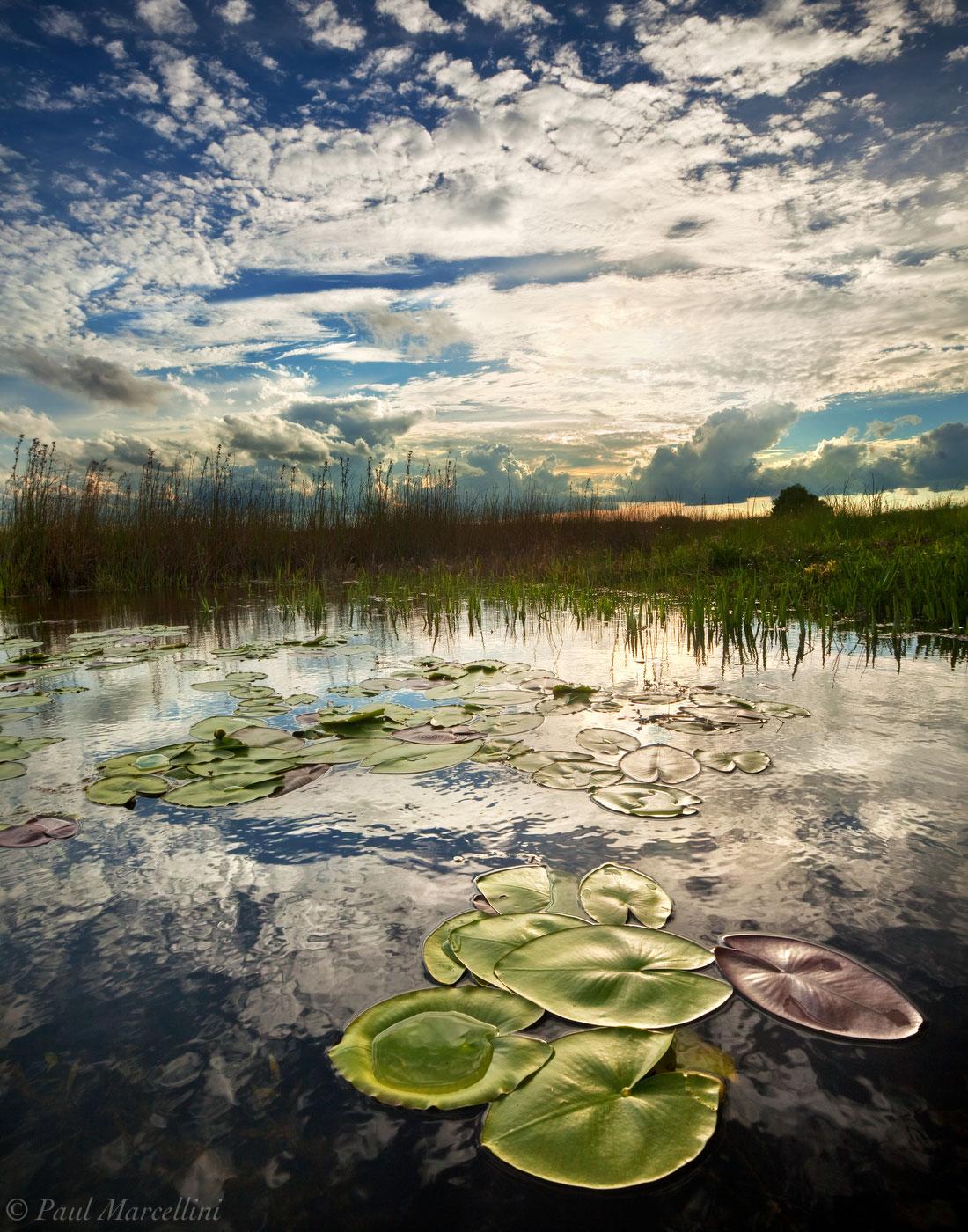 Nuphar lutea, spatterdock, Everglades National Park, Florida, nature, photography, florida national parks, photo