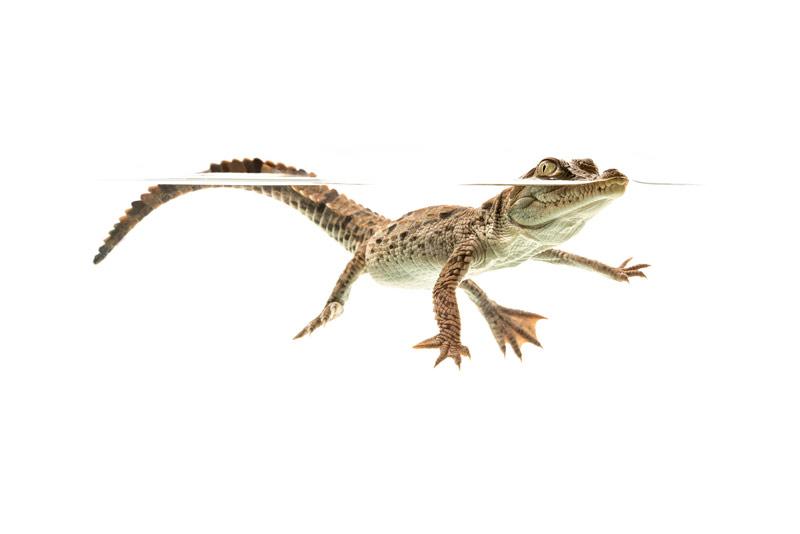 Crocodylus acutus, American Crocodile, hatchling, photo