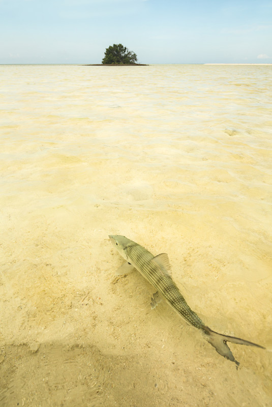 bonefish, bahamas, deep water cay, shallows, , photo