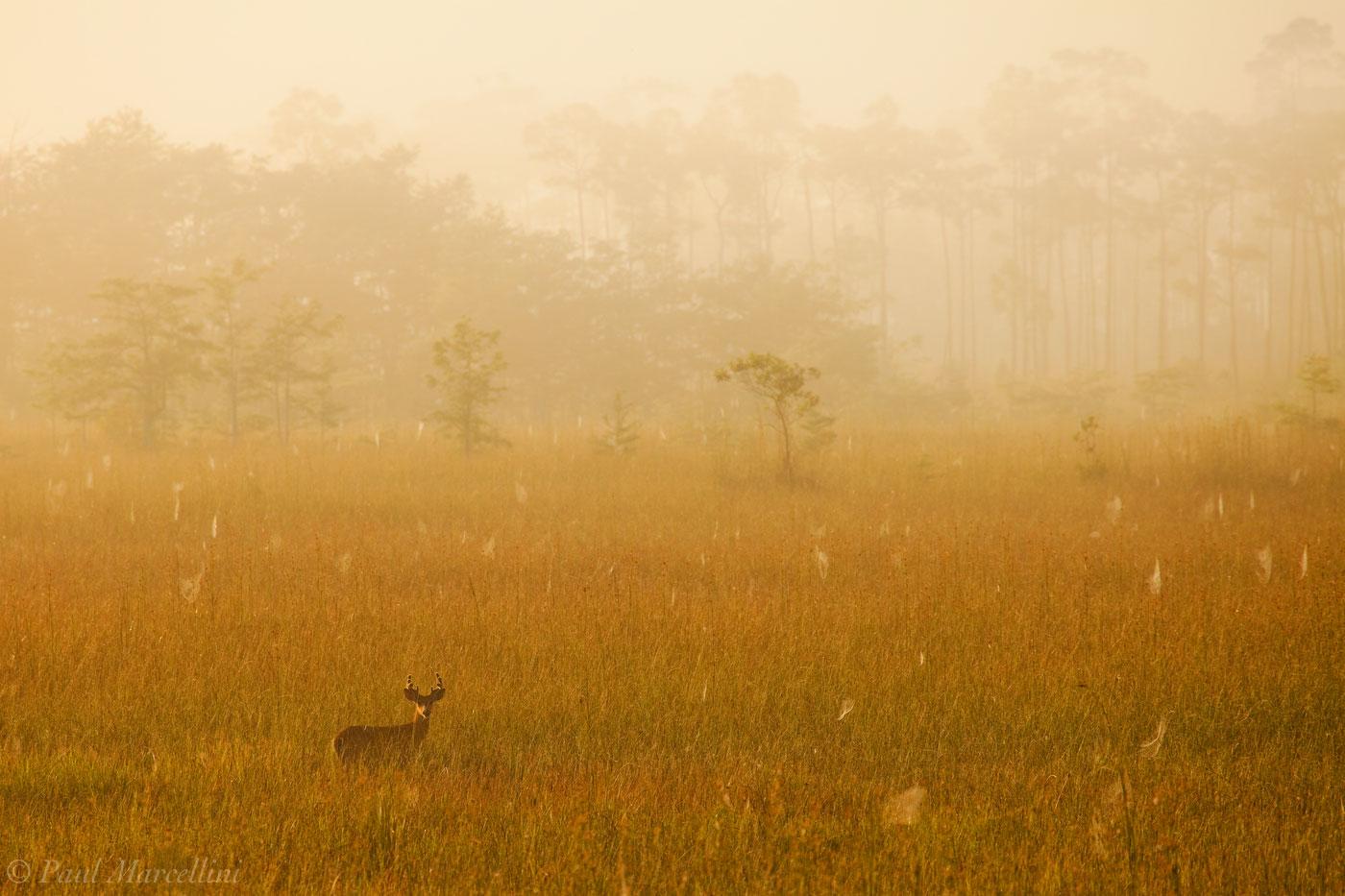 Odocoileus virginianus, white-tailed deer, everglades, spiderwebs, dew, fog, morning, deer, photo