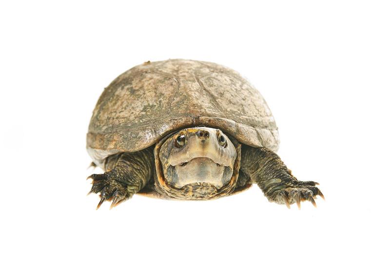 Florida Mud Turtle (Kinostermon subrubrum steindachneri)