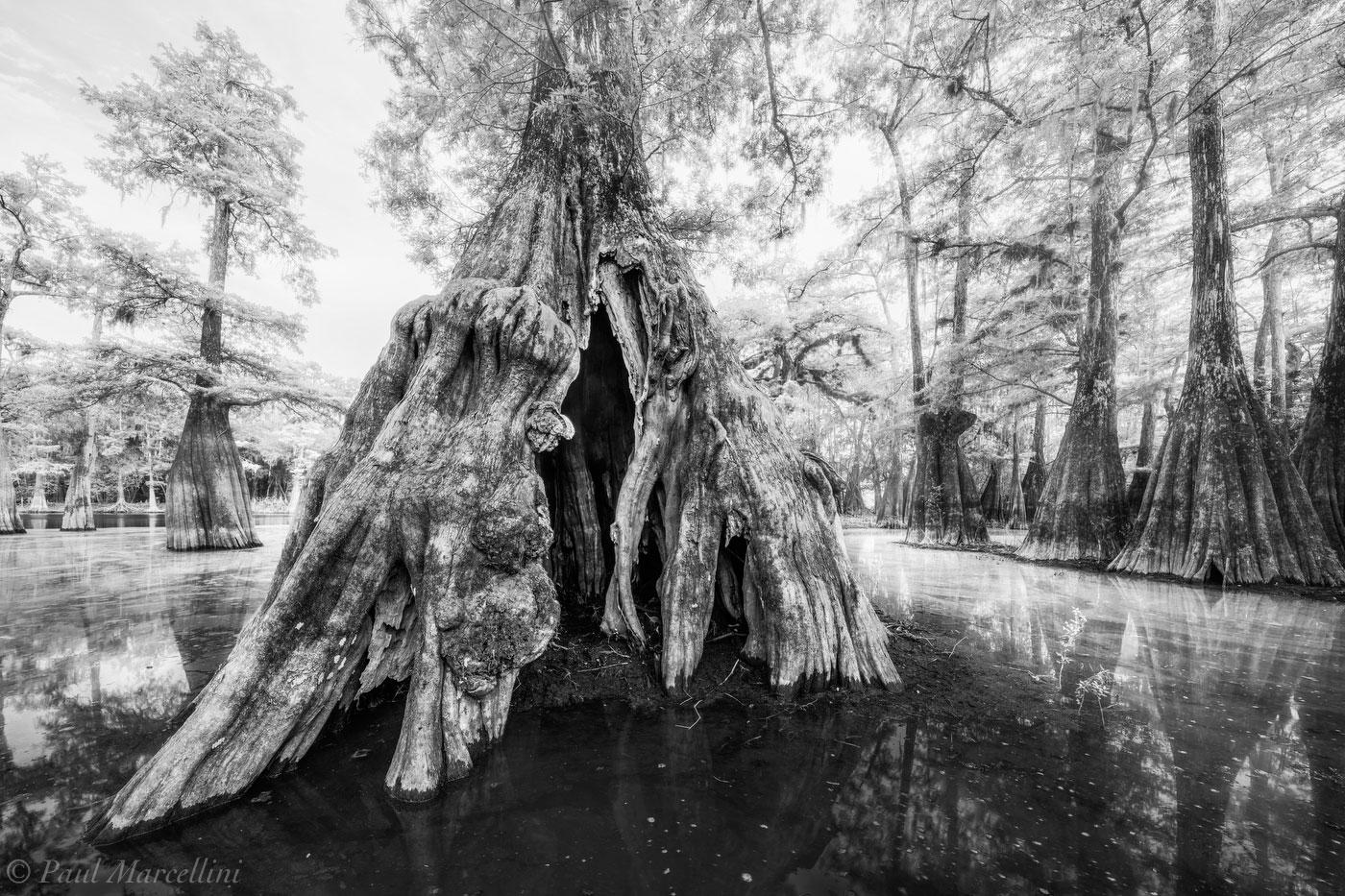 Suwannee Valley, FL, cypress, florida, photo