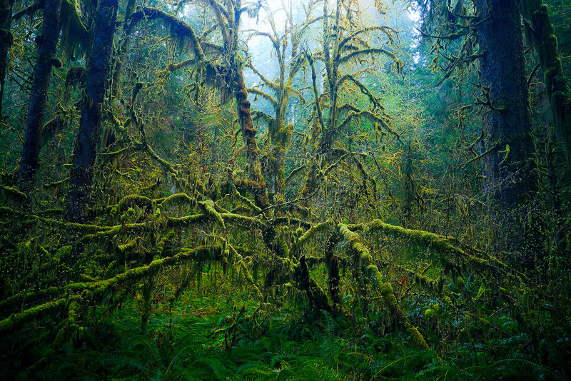 Hoh Rainforest, Olympic National Park, Washington, tree, Big Leaf Maple, Acer macrophyllum, photo
