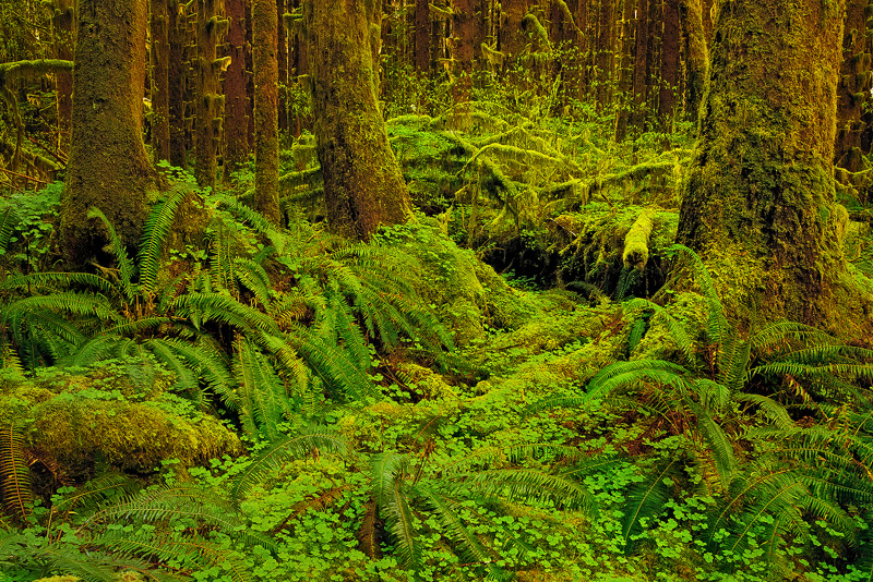 Hoh Rainforest, Olympic National Park, Washington, photo