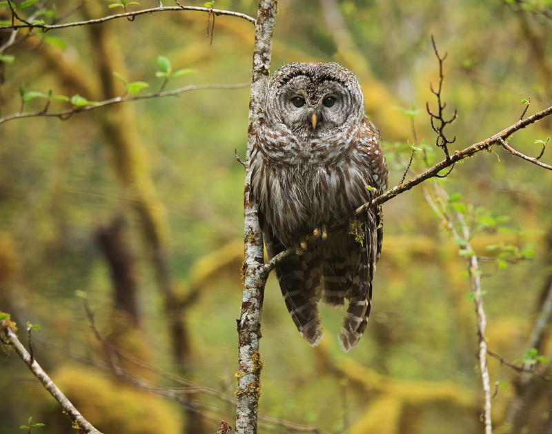 barred owl, strix varia, Hoh Rainforest, Olympic National Park, Washington, photo