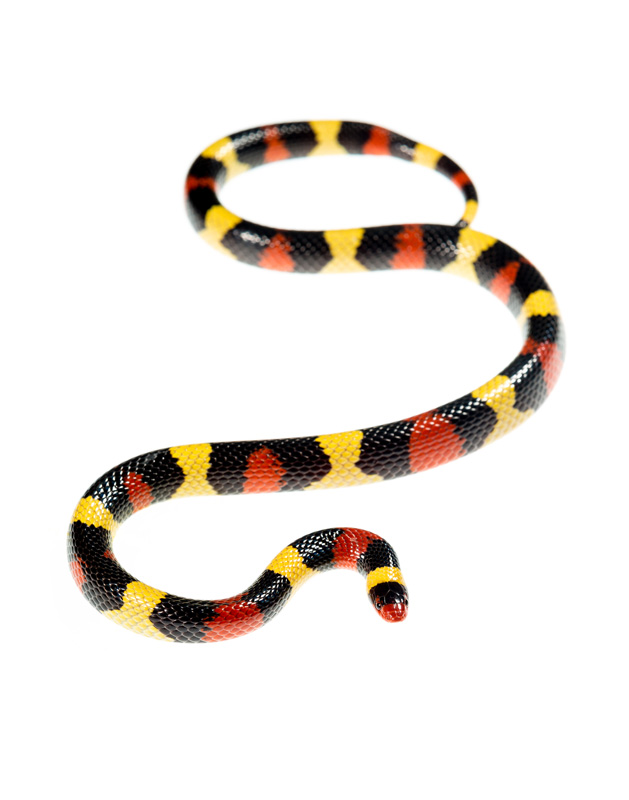 Lampropeltis elapsoides, Scarlet Kingsnake, photo
