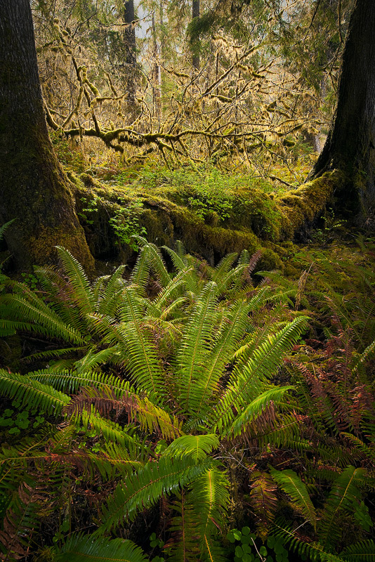 Quinault Rainforest, Olympic National Park, washington, nurse log, photo