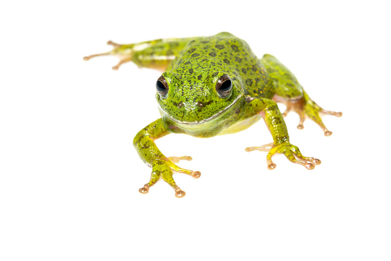 Barking Treefrog, Hyla gratiosa, photo
