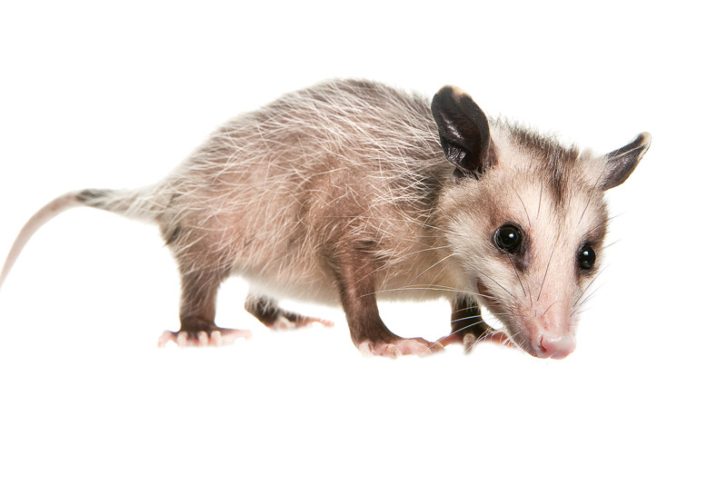 Virginia Opossum, Didelphis virginiana, miami, florida, photo