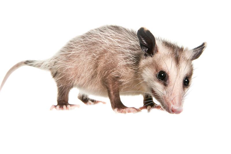 Virginia Opossum, Didelphis virginiana, miami, florida, photo