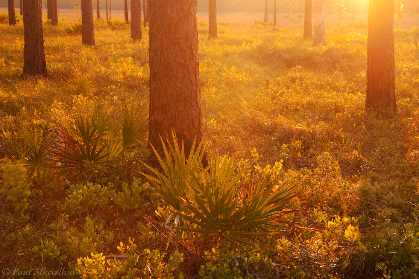 Apalachicola National Forest, Florida, Longleaf Pine, Pinus palustris, sunset, north florida, nature, photography, photo