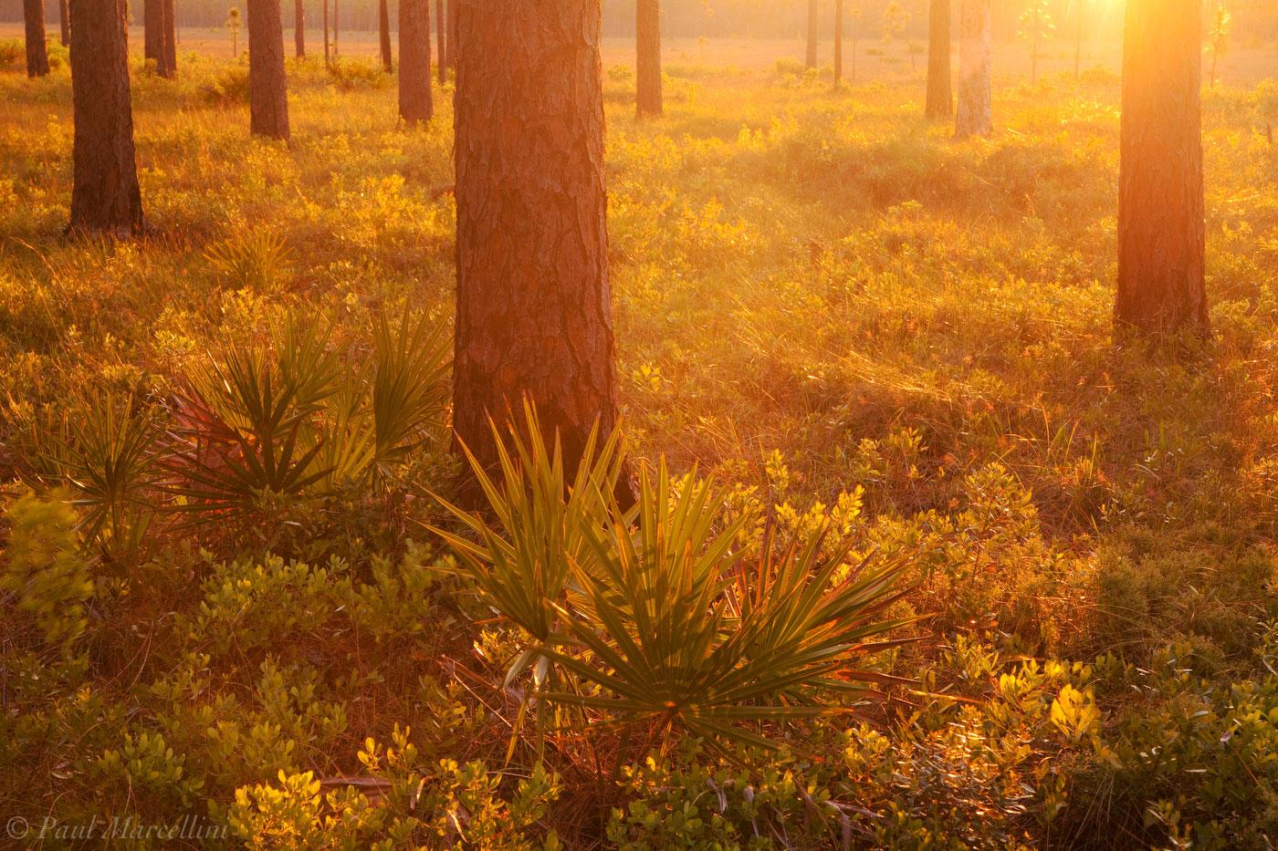 Apalachicola National Forest, Florida, Longleaf Pine, Pinus palustris, sunset, north florida, nature, photography, photo