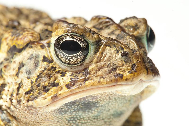 Southern Toad (Anaxyrus terrestris)