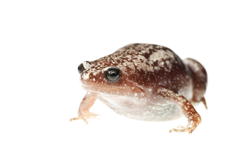 Narrow Mouthed Frog, Gastrophryne carolinensis, everglades national park, photo