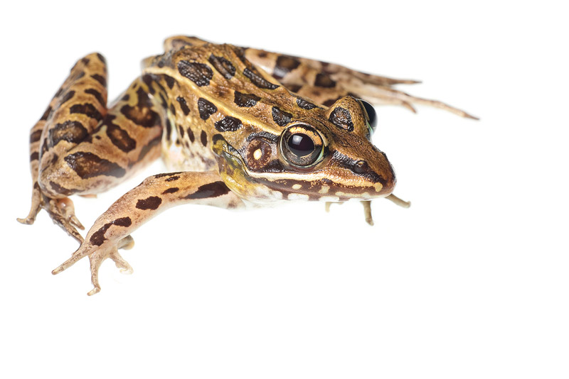 Southern Leopard Frog, Rana sphenocephala, everglades, photo