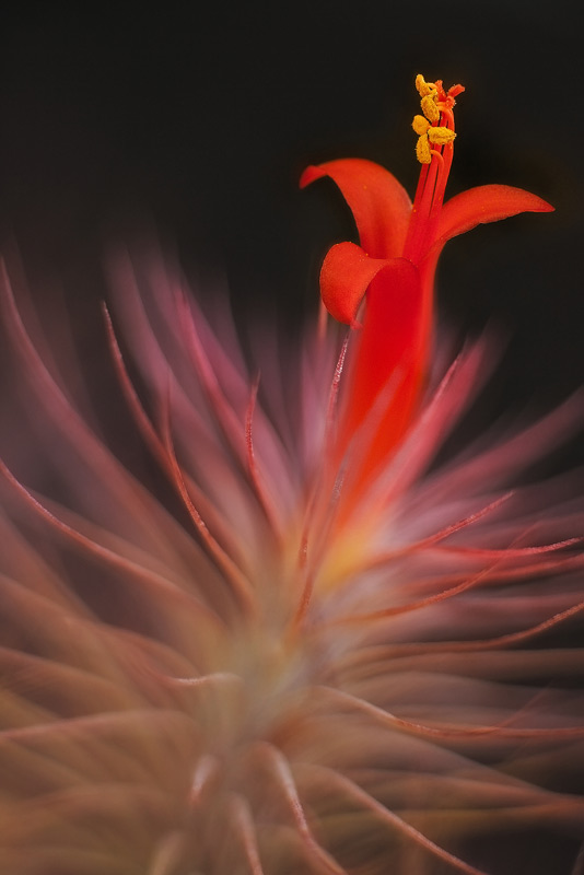 tillandsia funckiana, airplant, bromeliad, photo