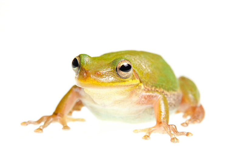 Squirrel Treefrog, Hyla squirella, photo