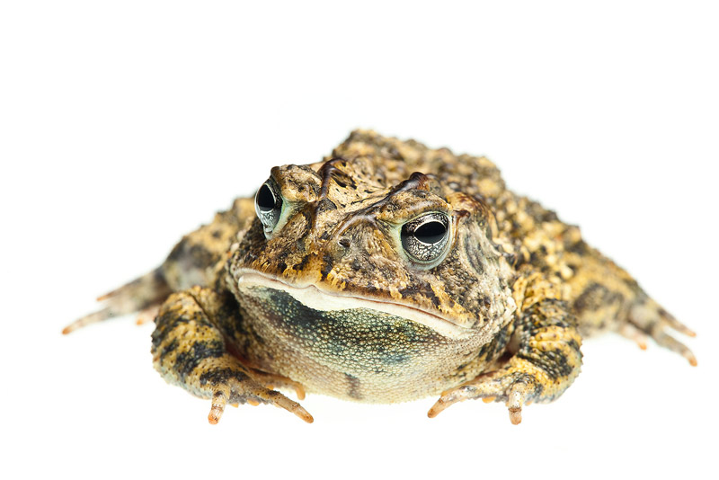 Southern Toad, Anaxyrus terrestris, photo