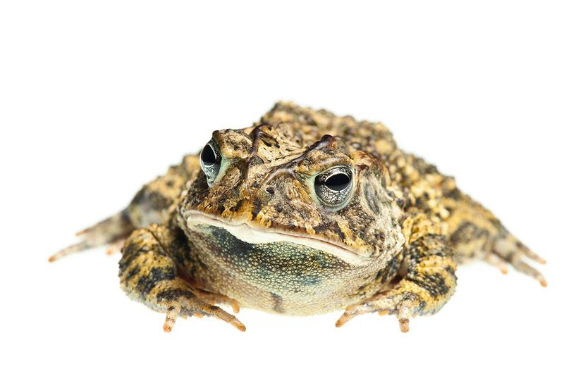 Southern Toad, Anaxyrus terrestris, photo