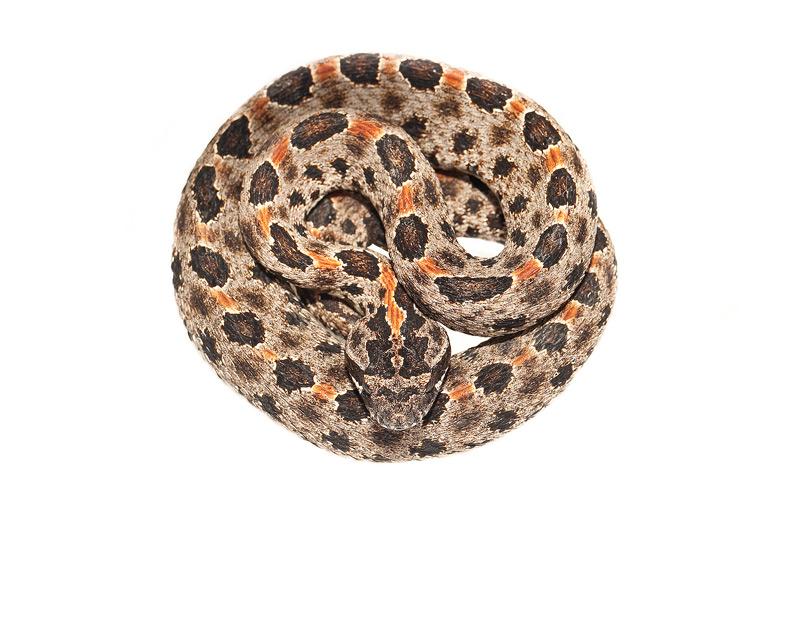 Dusky Pigmy Rattlesnake, Sistrurus miliarius barbouri, photo