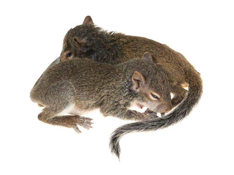 Eastern Grey Squirrel,Sciurus carolinensis,Miami,FL, photo