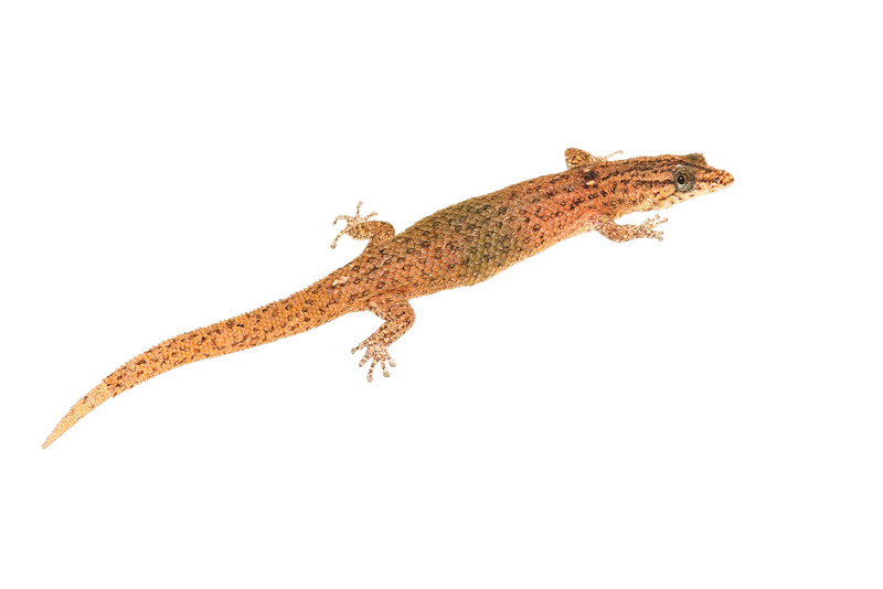 Reef Gecko, Sphaerodactylus notatus, photo