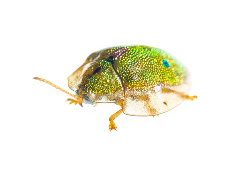 Geiger Tortoise Beetle (Eurypepla calochroma floridensis),Miami,Florida,Geiger Tortoise Beetle , photo