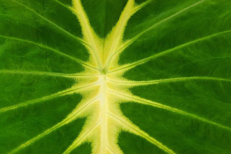 colocasia nancyana, lines, photo