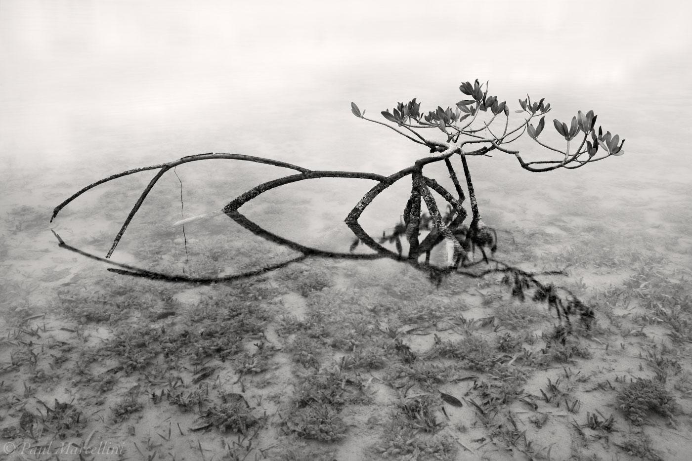 red mangrove, rhizophora mangle, florida, keys, florida keys, south florida, nature, photography,, photo